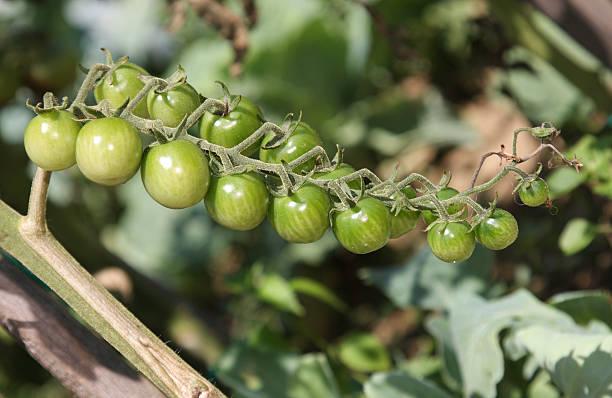 Pomodori biologici  - foto stock