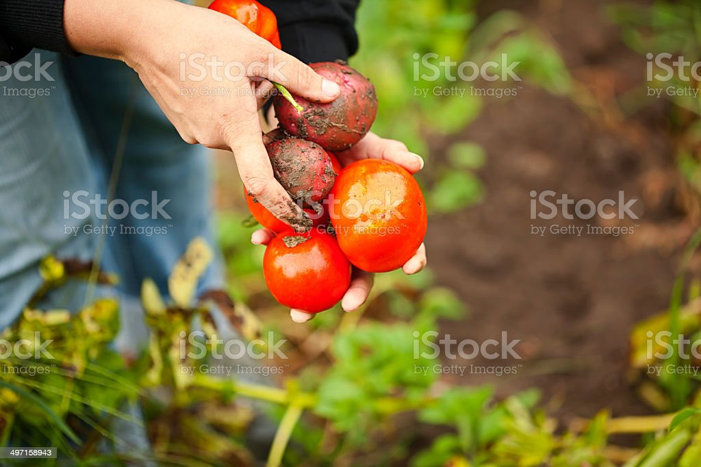 Organic Tomatoes & Red Potatoes royalty-free stock photo