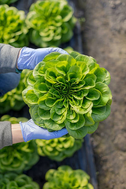 Organic vegetable farm Growing organic lettuce butterhead lettuce stock pictures, royalty-free photos & images