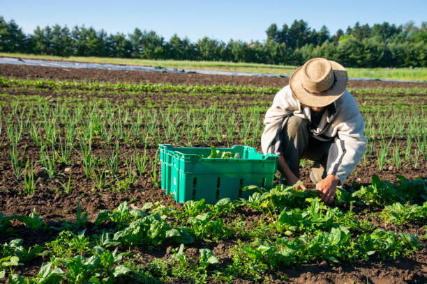 Organic vegetable farming Farming on an organic vegetable farm. A farmer working on a spinach crop in a field farm worker stock pictures, royalty-free photos & images