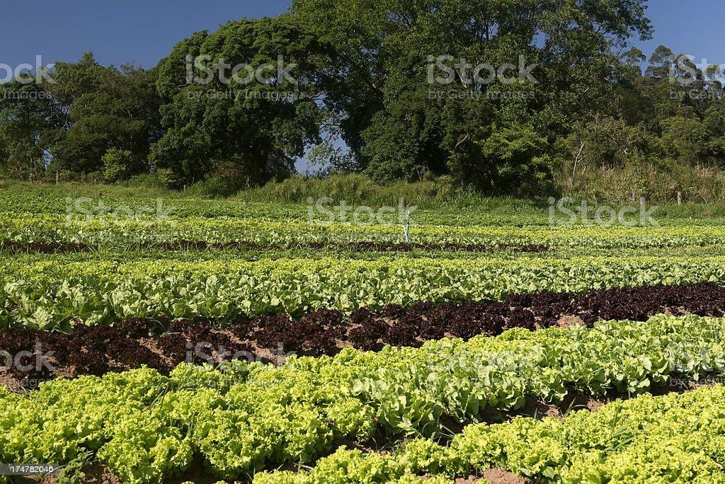 Organic vegetable farming royalty-free stock photo
