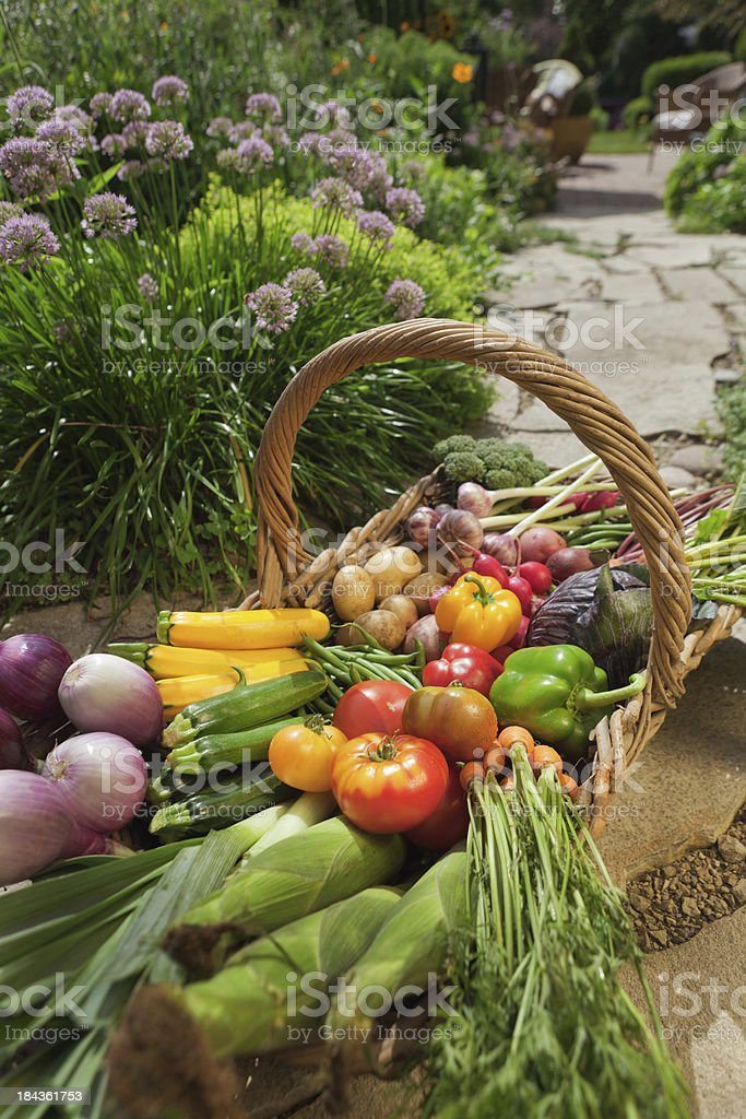 Organic Vegetable Garden Harvest Basket from Home Gardening Crop royalty-free stock photo