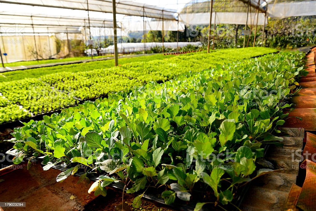 Organic Vegetable Plantations royalty-free stock photo