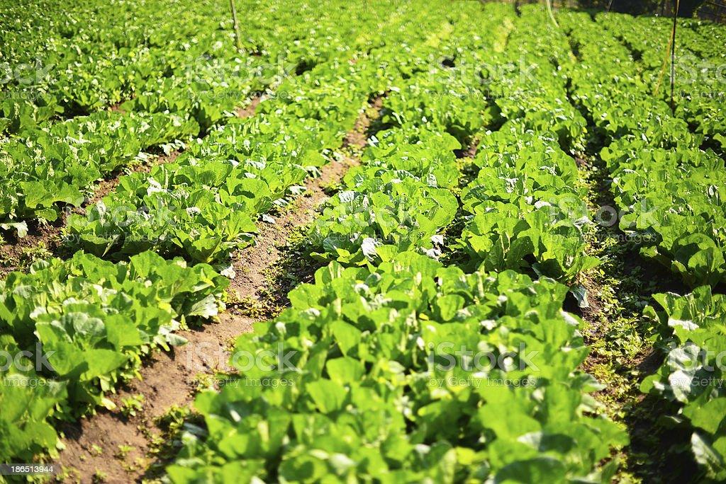 Organic Vegetable Plantations royalty-free stock photo