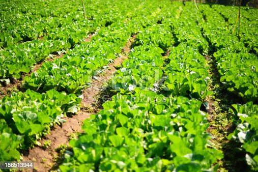 Organic Vegetable Plantations Stock Photo & More Pictures of Agriculture