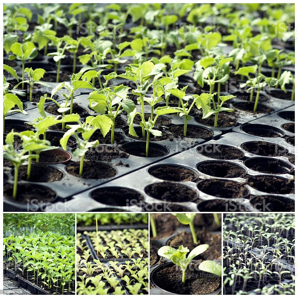 Organic vegetable seedlings stock photo