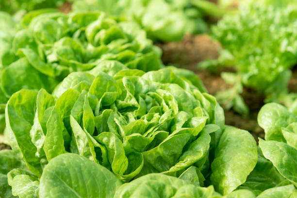 """Organic vegetables garden Cultivation organic vegetable """"Butterhead Lettuce"""" in garden among natural climate. butterhead lettuce stock pictures, royalty-free photos & images"""