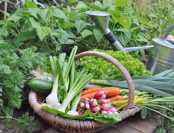 verduras orgánicas en una cesta de mimbre en un huerto - foto de stock