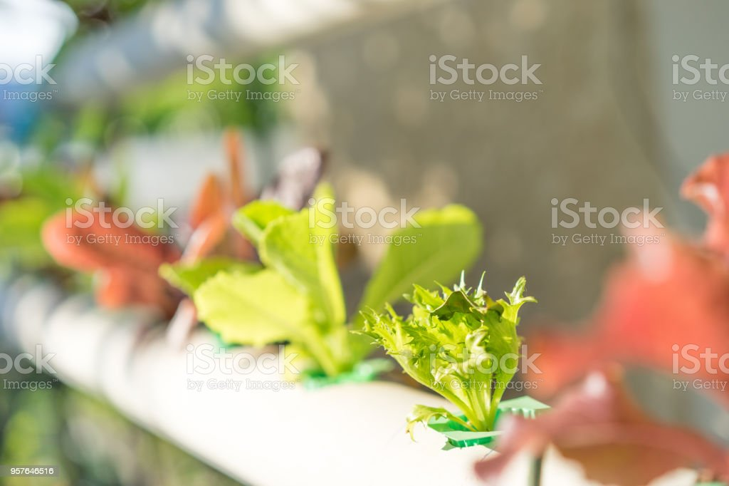 Organic vegetables salad in farm for health, hydroponics is a non-soil plant. stock photo