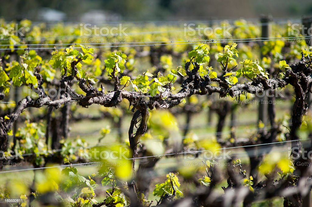 Organic vineyard in McLaren Vale, Australia stock photo