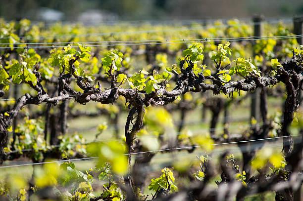 Organic vineyard in McLaren Vale, Australia stock photo