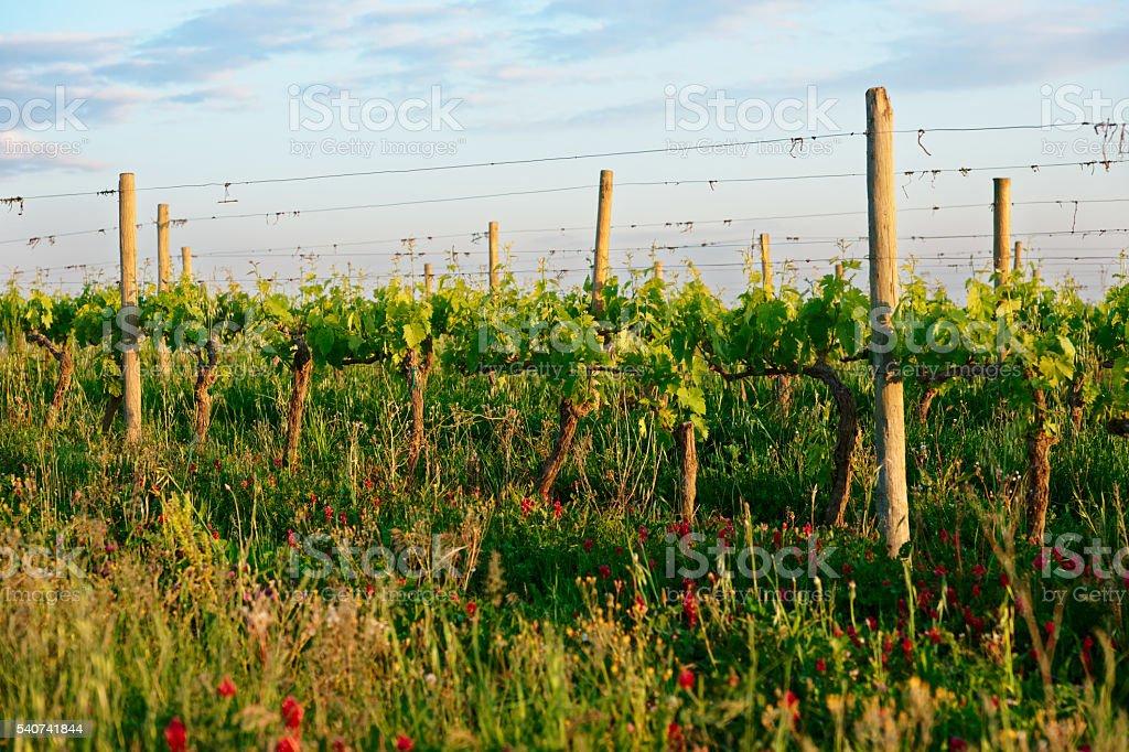 Vigneto organico in Toscana, Italia - foto stock