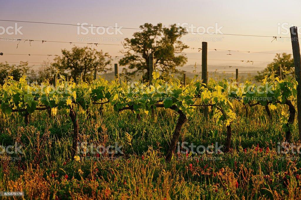 Organic vineyard in Tuscany, Italy, toned zbiór zdjęć royalty-free