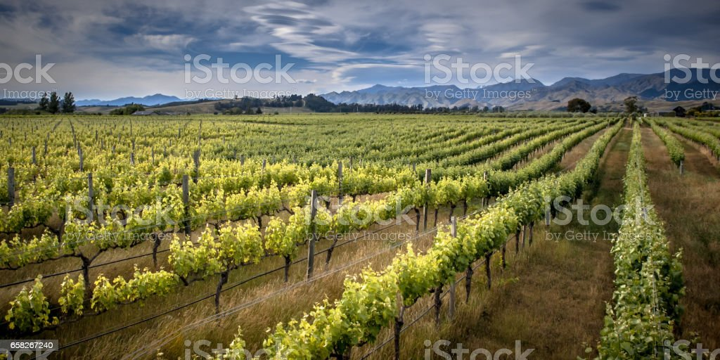 Organic Vineyard Marlborough area new zealand stock photo