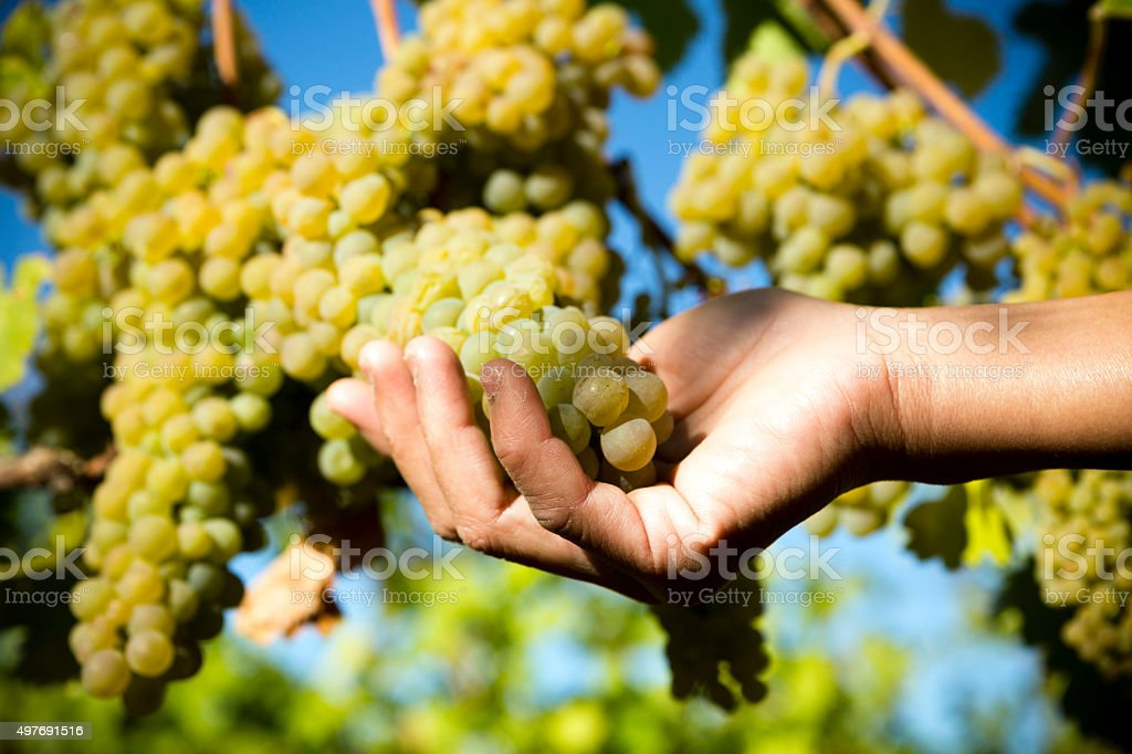 Organic Viognier Grape stock photo