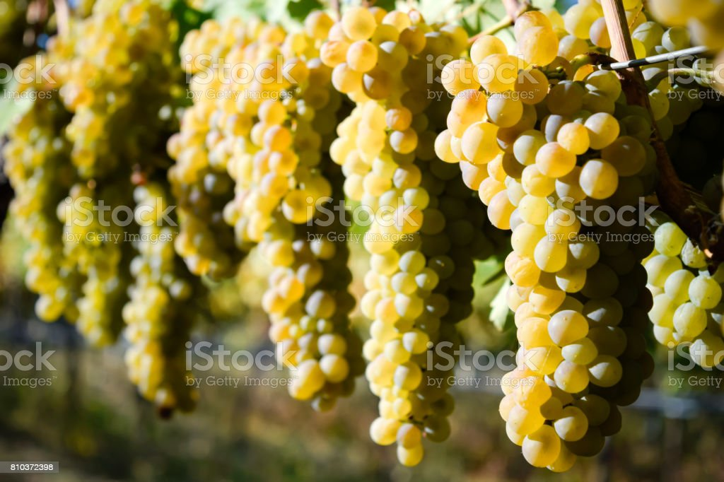 Organic Viognier Grapes stock photo