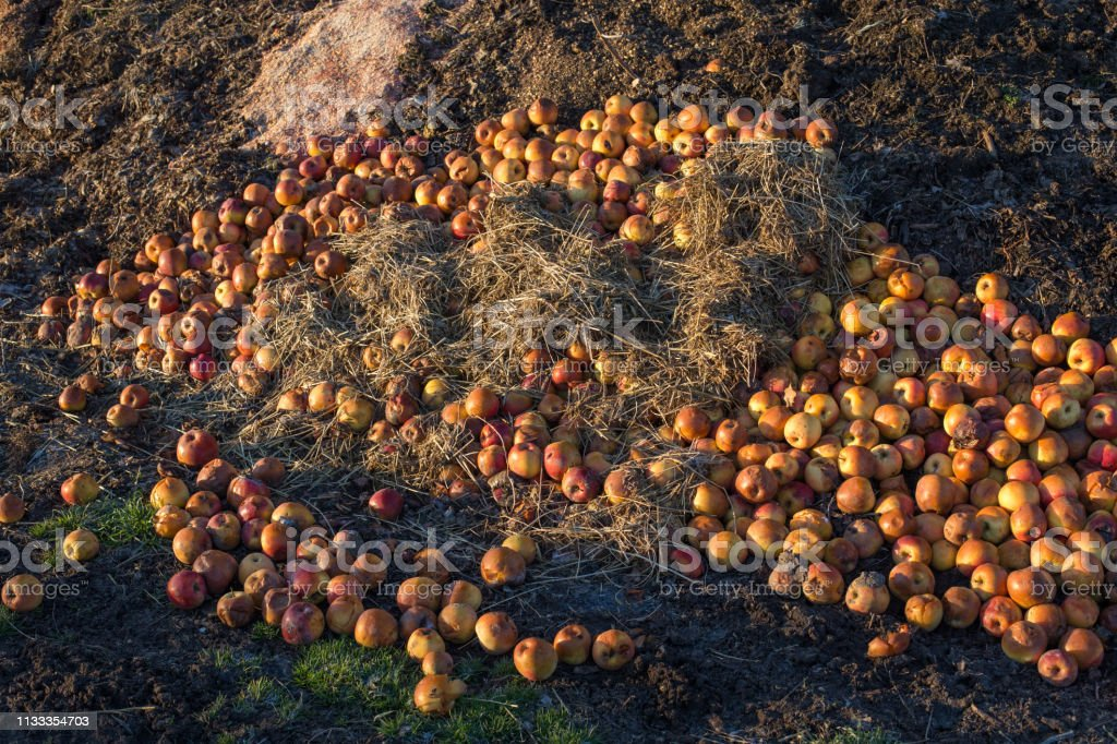 Apples and other organic waste on pile in garden. Compost and...