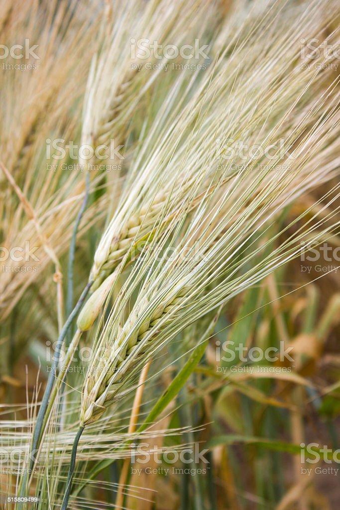Organic Wheat royalty-free stock photo
