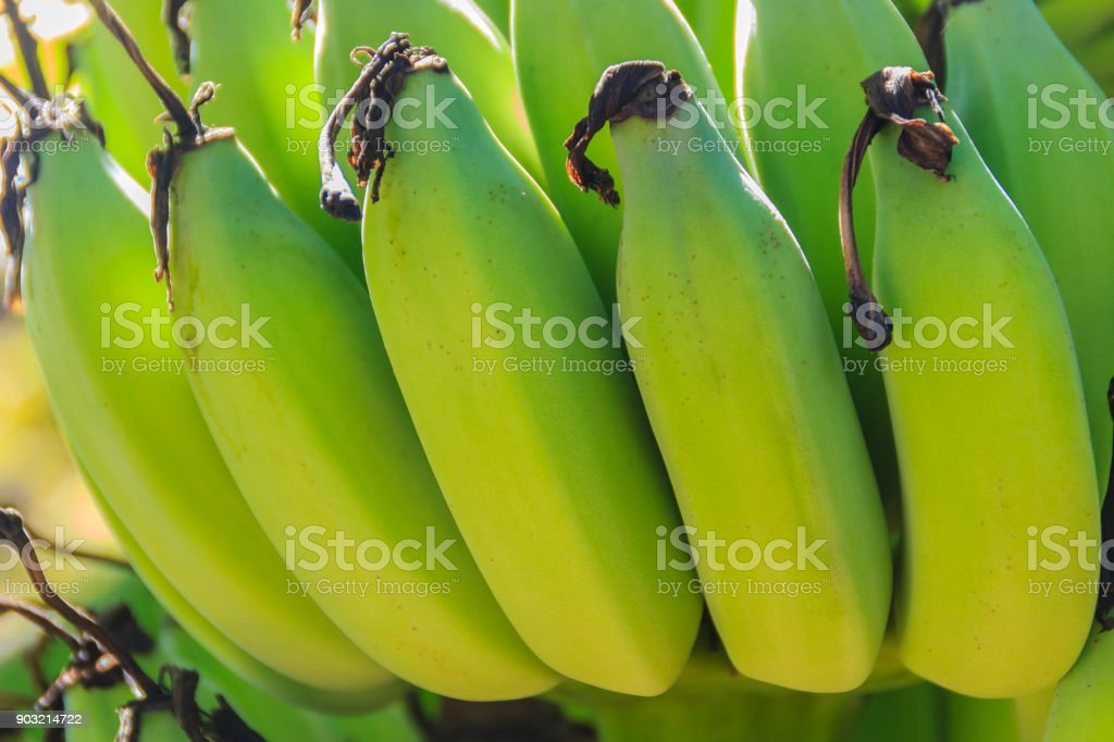 Organic young green banana fruits on tree with sunshine in the sunny day. Bunch of fresh raw young green banana fruit on tree in the orchard. stock photo