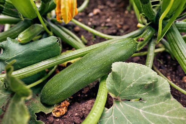 biologische courgette homegrown - courgette stockfoto's en -beelden