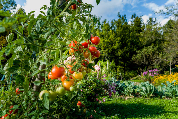 Organically Grown Cherry Tomatoes In Home Garden stock photo