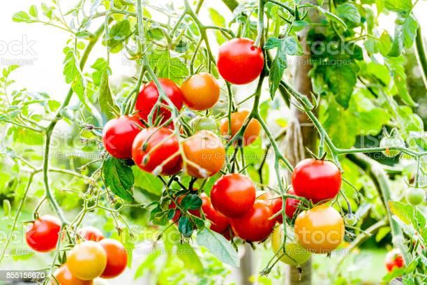 菜園 ミニ トマト 家庭 ミニトマトの育て方と失敗例は?|家庭菜園|趣味時間