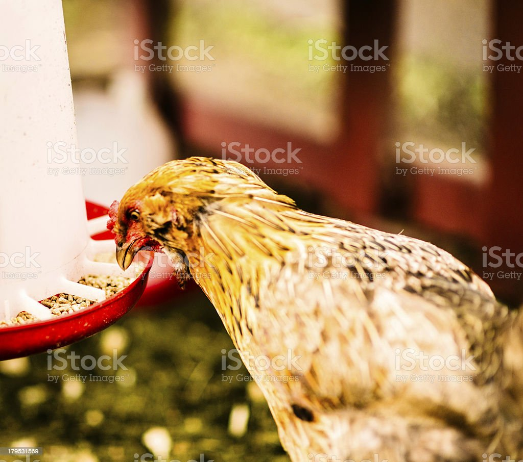Organically Raised Free Range Chicken Eating Organic Feed royalty-free stock photo