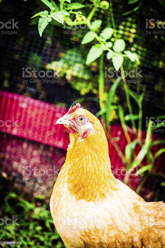 Organically Raised Free Range Chicken in Backyard royalty-free stock photo