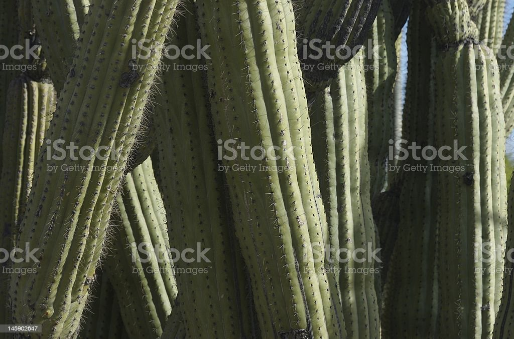 organpipe cactus close up view royalty-free stock photo
