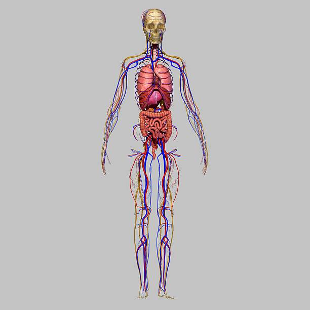 Royalty free nervous system diagram pictures images and stock organs with nervous system stock photo ccuart Choice Image