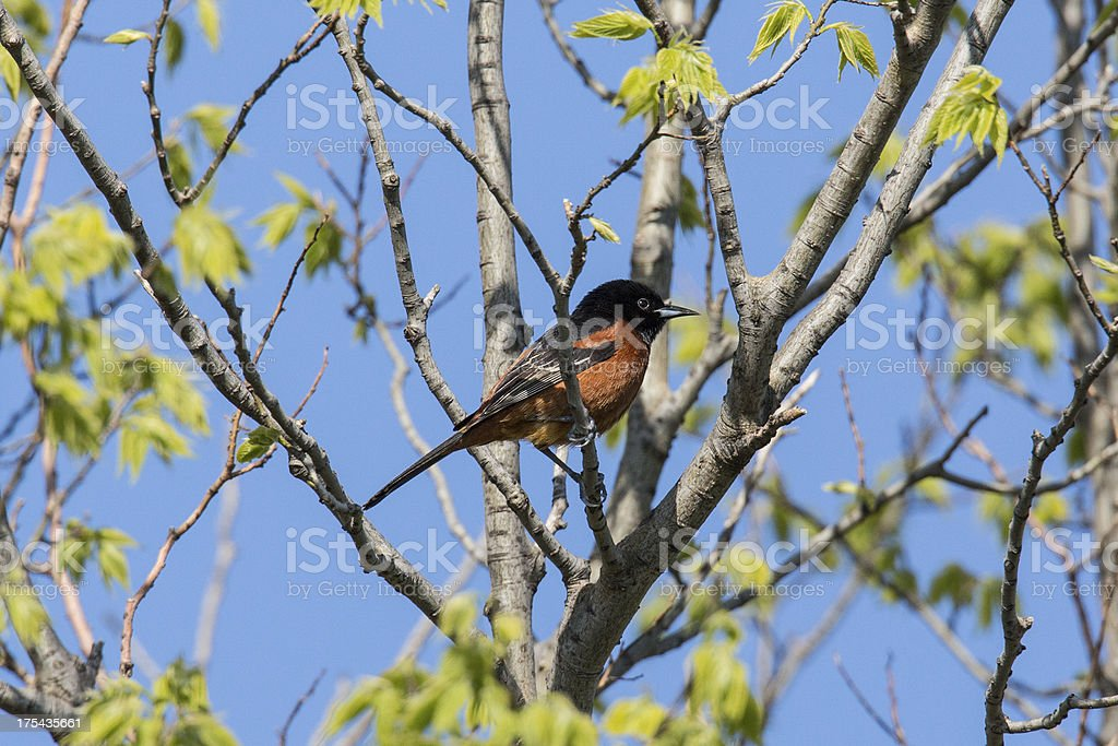 Orhcard Oriole royalty-free stock photo