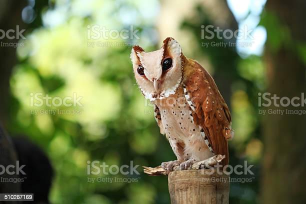 Oriental bay owl picture id510267169?b=1&k=6&m=510267169&s=612x612&h=04raf1ghou0cu7v6rhmzgukkikxsdattpfsejqe7qdq=