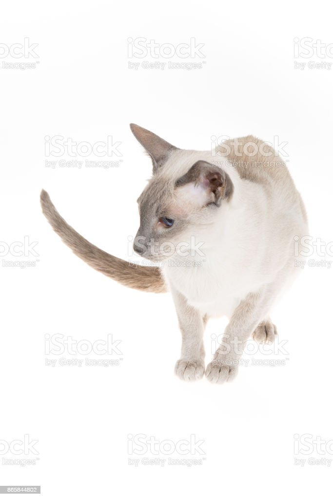 Oriental blue-point cat lying on white background stock photo