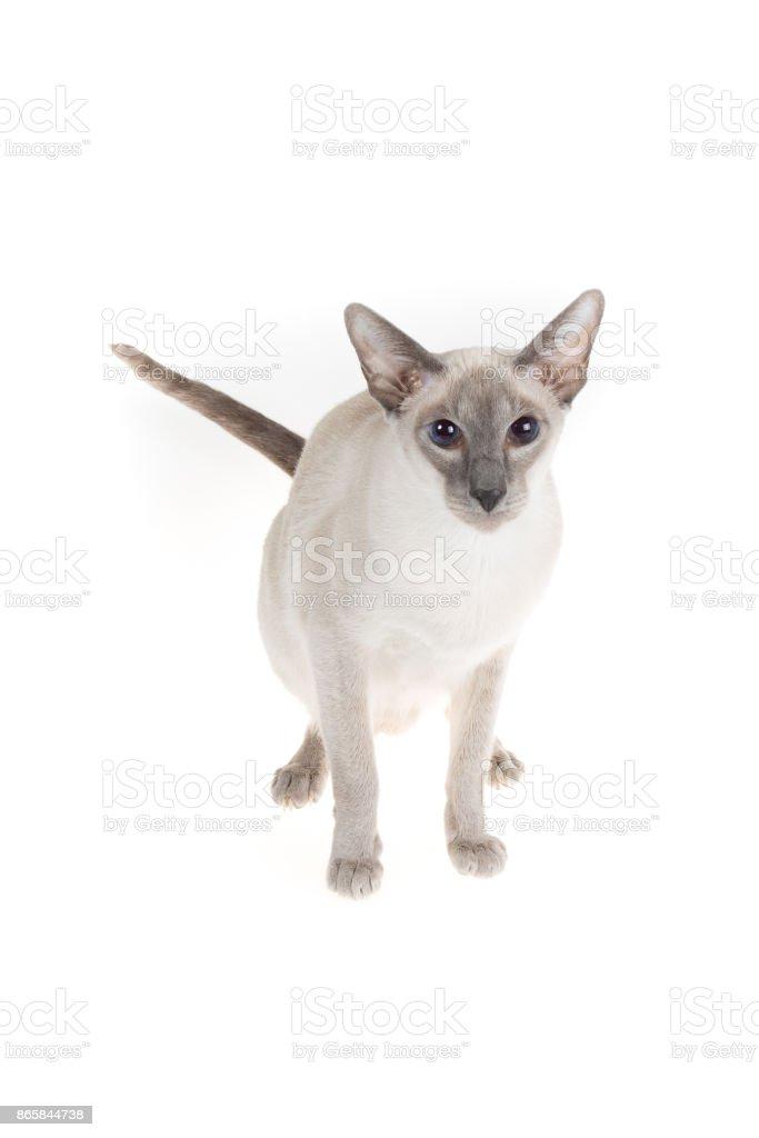 Oriental blue-point cat posing  on white stock photo