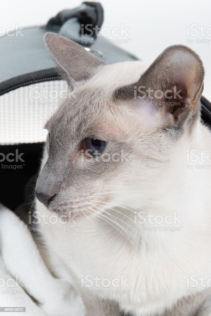Oriental Blue-point siamese cat. Close-up portrait on a white background stock photo