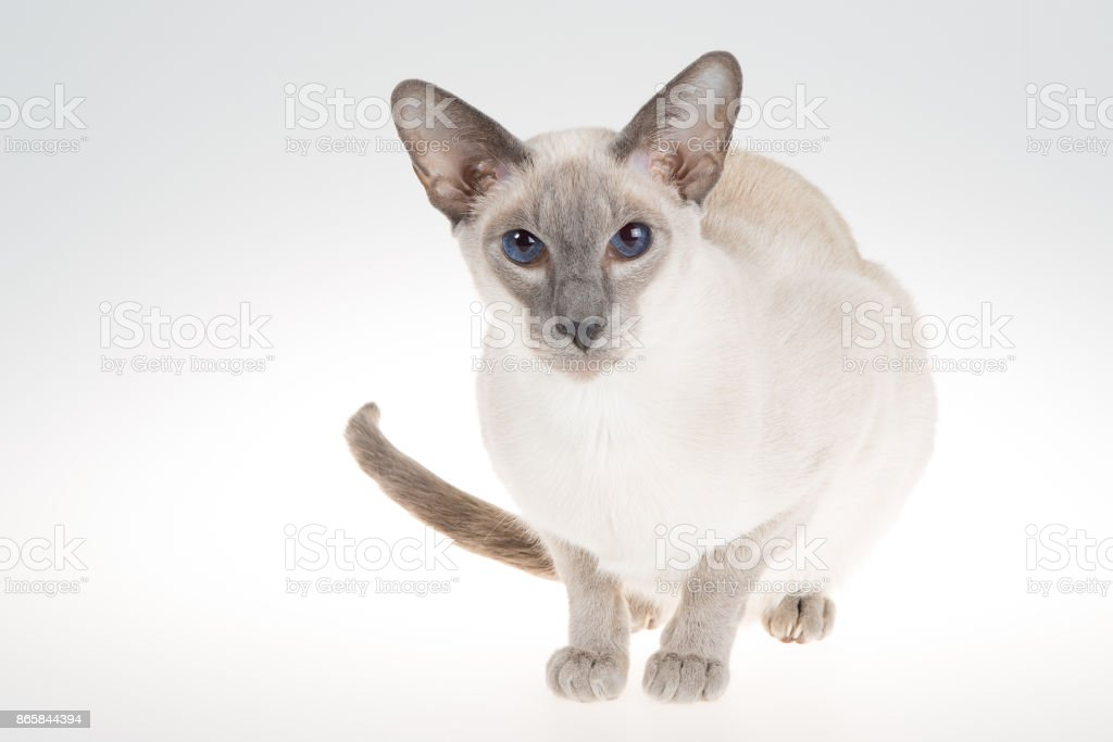 Oriental Blue-point siamese cat. Close-up portrait on a white stock photo