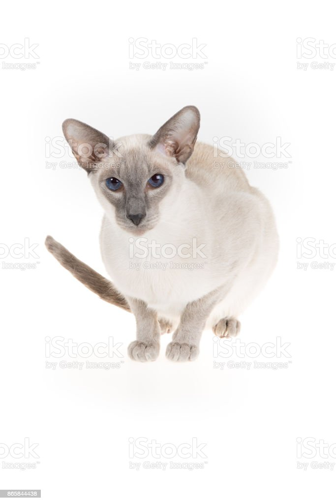 Oriental blue-point Siamese cat isolated on white stock photo