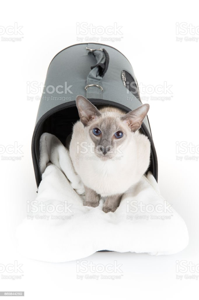 Oriental Blue-point Siamese cat lying on a white background stock photo