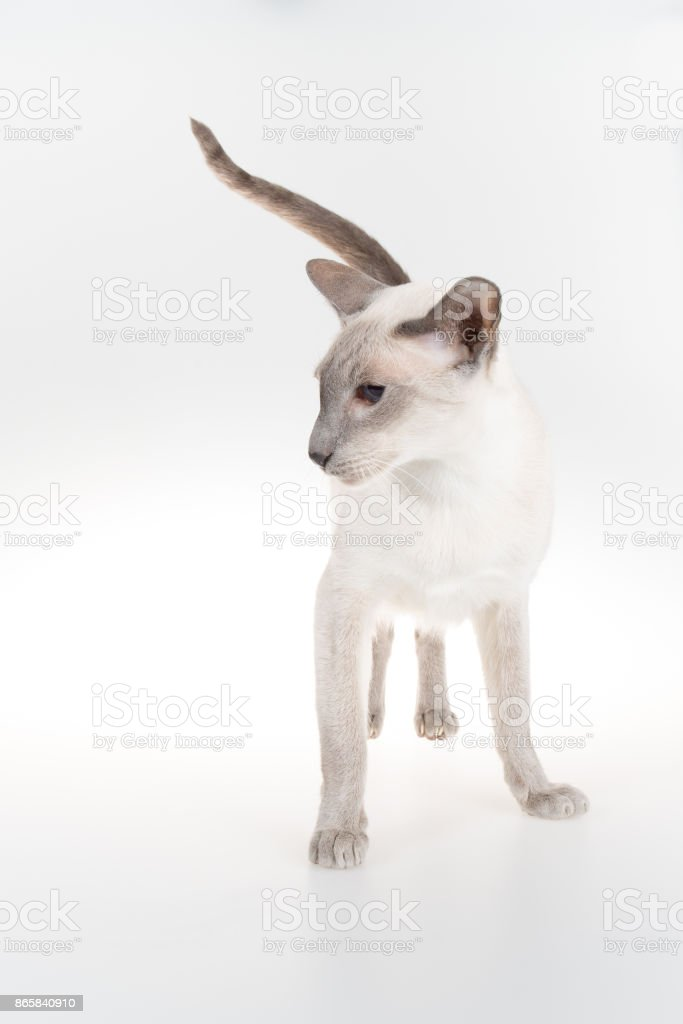 Oriental Blue-point siamese cat on a white background stock photo