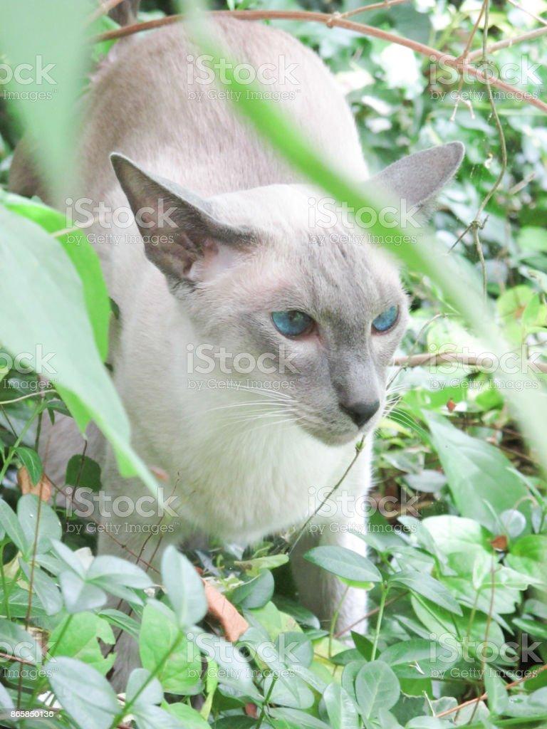 Oriental Blue-point siamese cat stock photo
