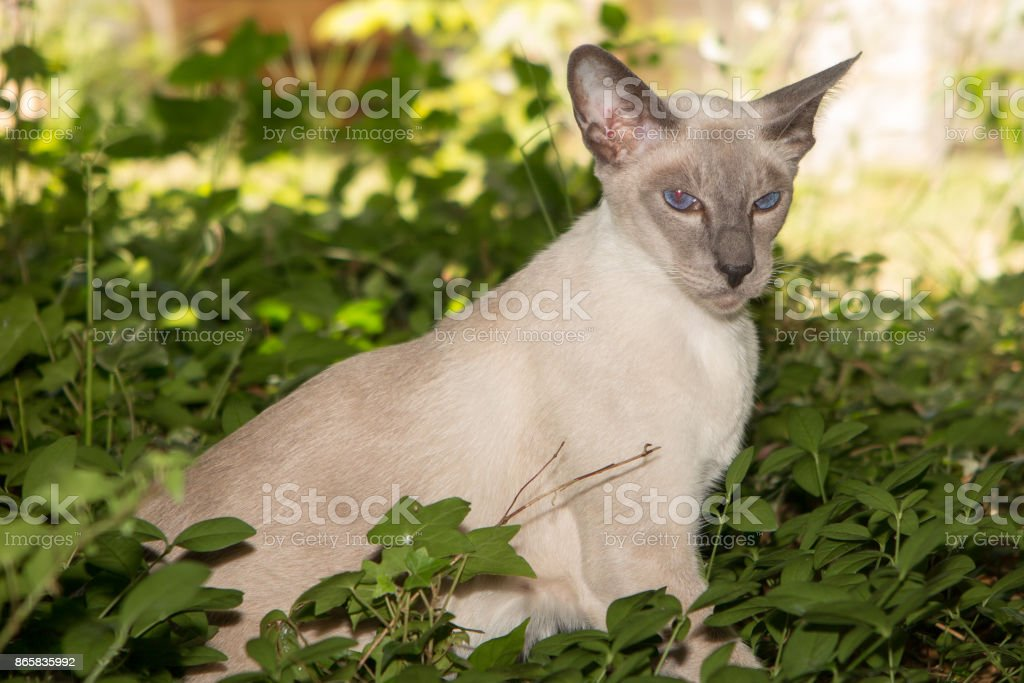 Oriental Blue-point siamese cat posing on a garden green park background stock photo