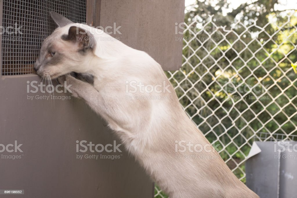 Oriental Blue-point siamese cat posing on a top of the roof stock photo