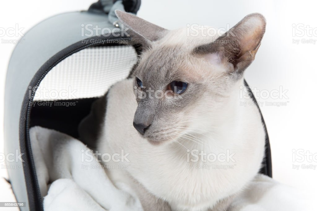 Oriental Blue-point siamese cat posing on a white background stock photo