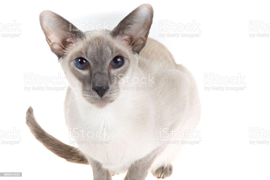 Oriental Blue-point siamese cat posing on a white stock photo