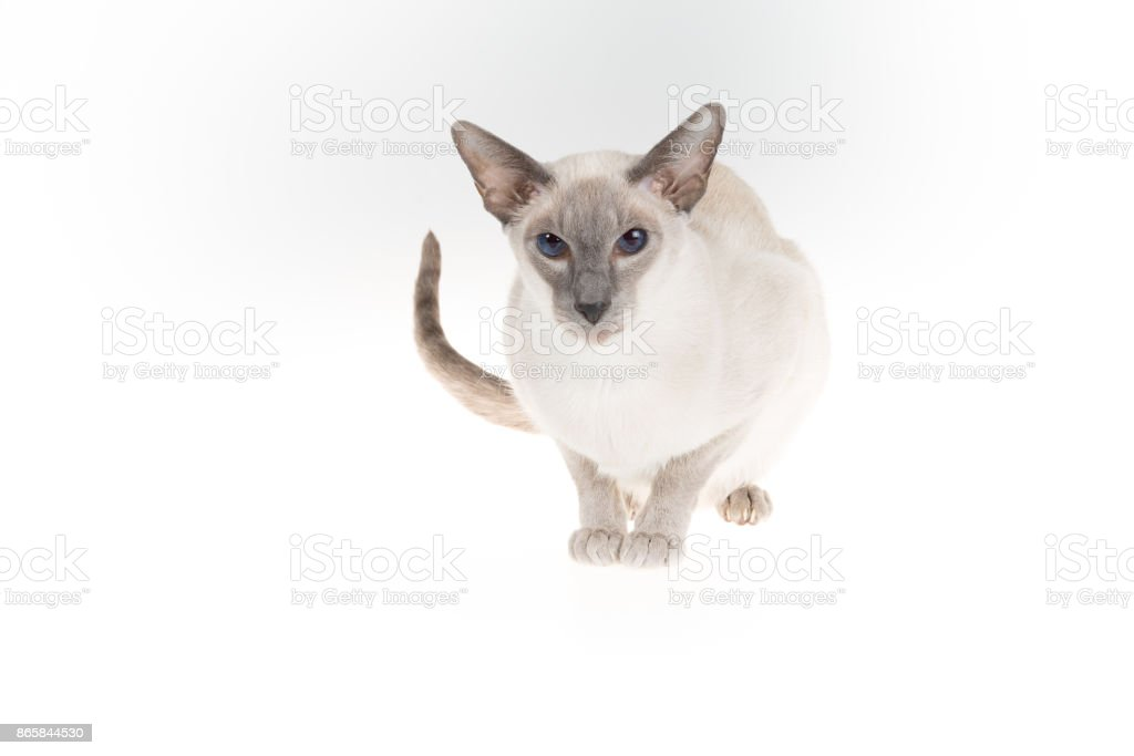 Oriental Blue-point siamese cat sitting isolated on a white stock photo