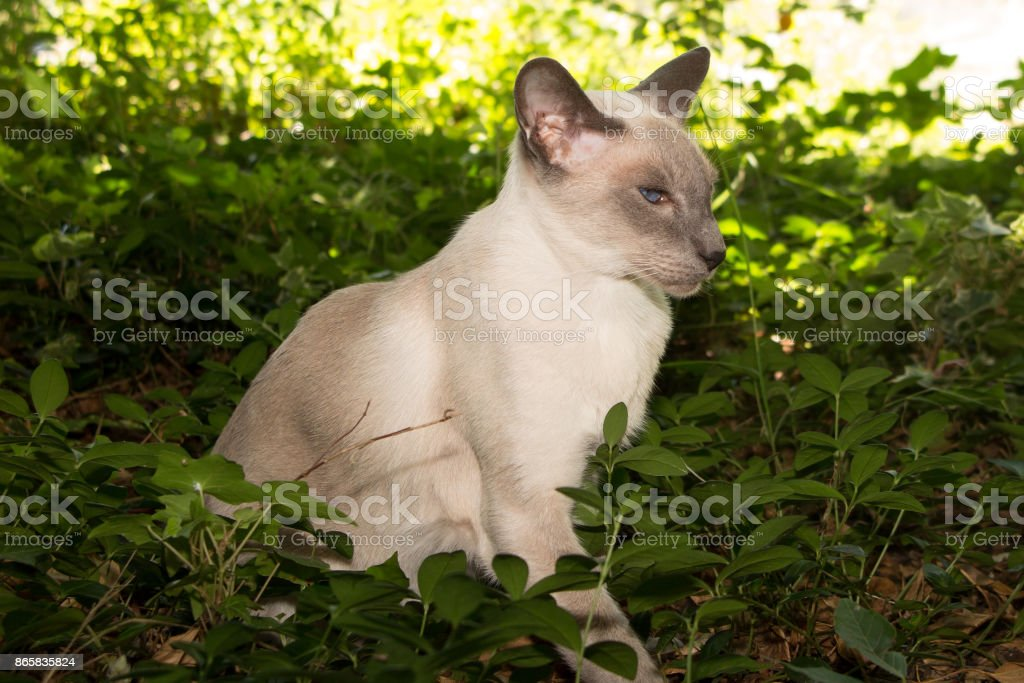 Oriental Blue-point siamese cat sitting on a green nature background stock photo