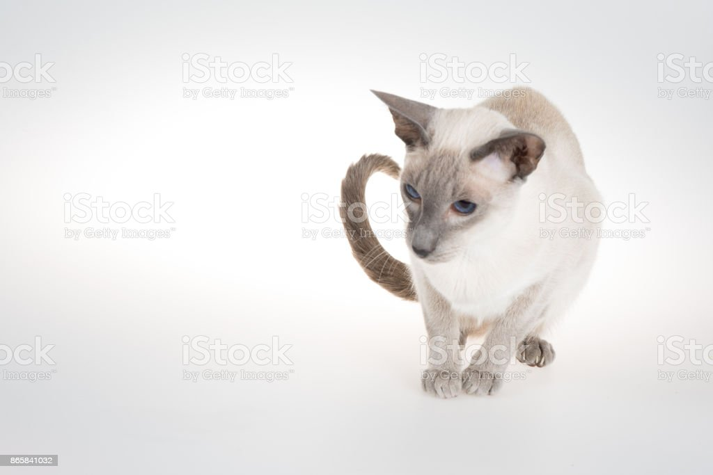 Oriental Blue-point siamese cat sitting on a white stock photo