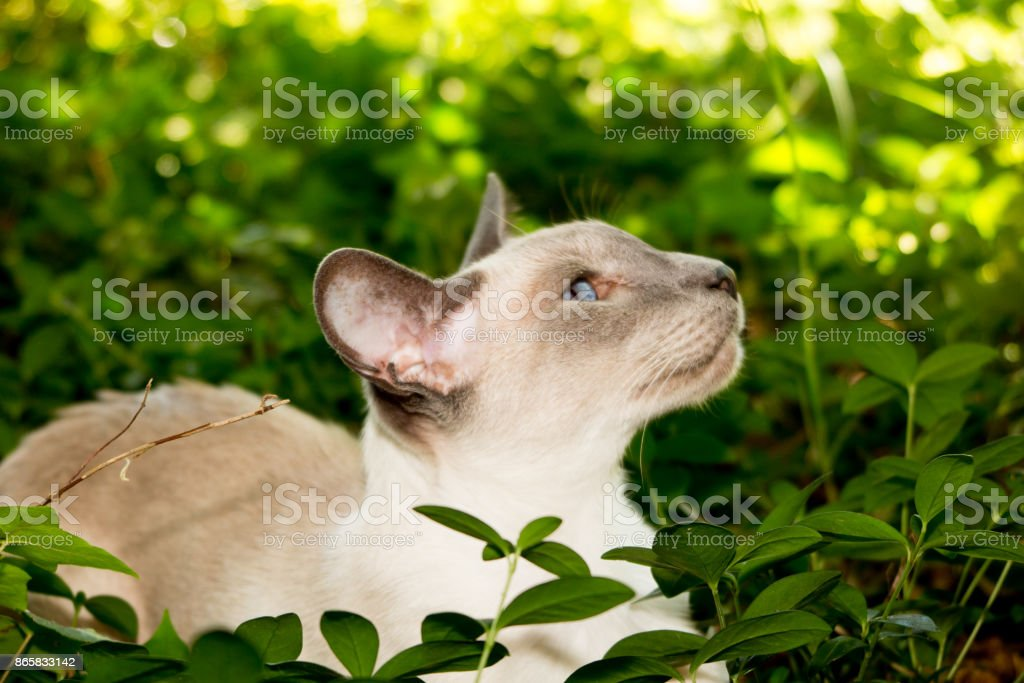 Oriental blue-point Siamese kitten playing in house home garden stock photo