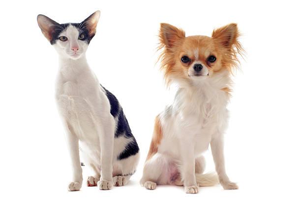 Oriental cat and chihuahua picture id140785672?b=1&k=6&m=140785672&s=612x612&w=0&h=pvwhg82pbscin0jsjyepkrnnp3qrawi e kqrnjzzo4=