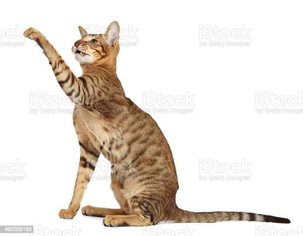 Oriental cat on white background picture id460058195?b=1&k=6&m=460058195&s=612x612&h=gflw9k8ahvhszxedsuecbo8rjvk5emcg2oj0y9pr te=